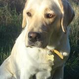 Jilda (Labrador Retriever)