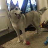 Ava (Siberian Husky)