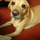 Henry (Labrador Retriever)