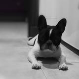 Iker (Bulldog Francés)