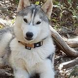 Oria (Husky Sibérien)