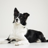 Lagun - Border Collie