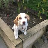 Pippa (Beagle)