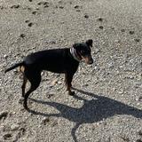 Soul (Manchester Terrier)