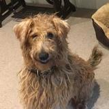 Oisin (Irish Terrier)
