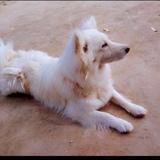Romeo  (Pomeranian)