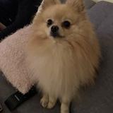 Rufus (Zwergspitz)