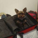 HÉRCULES - Yorkshire Terrier