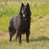 Filou (Belgischer Schäferhund)