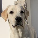 Nana (Labrador Retriever)