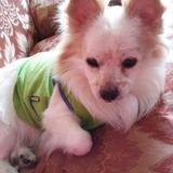 Lucas (Chihuahua)