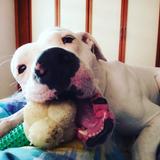 Dago (Dogo Argentino)