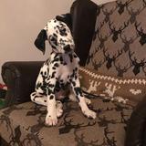 Monty (Dalmatian)