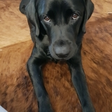 Mila - Labrador Retriever