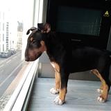 O'major (Bull Terrier)