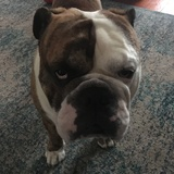 William (English Bulldog)