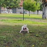 Valentín - Bull Terrier