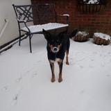 Buddy (Australian Kelpie)