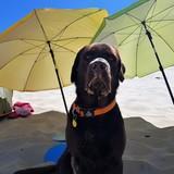 Buddy (Labrador Retriever)