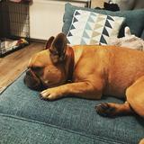 Bailey  (French Bulldog)