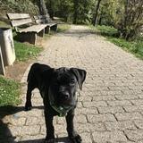 Ernie (Cane Corso Italiano)