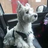 Ben Ben  (West Highland White Terrier)