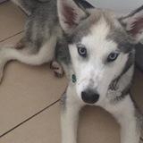 Chanel (Siberian Husky)