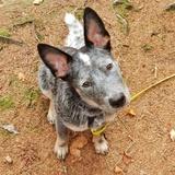 Natz (Australischer Treibhund)