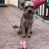 Rocky (Yorkshire Terrier)