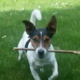 Jacky (Jack Russell Terrier)