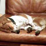 Didi (Foxhound Anglais)