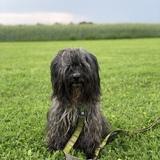 Layu (Tibet Terrier)