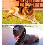 Kiara (German Shepherd Dog)