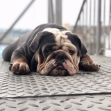 Humphrey (English Bulldog)