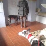 Marco - Greyhound