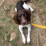 Toby (English Springer Spaniel)