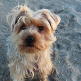 Mya (Yorkshire Terrier)