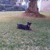 Coco (Ratonero Valenciano)