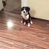 Jack (Entlebucher Sennenhund)
