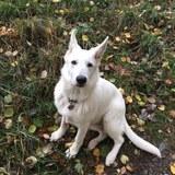 Tjara (Weisser Schweizer Schäferhund)