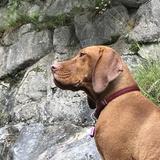 Rosi (Drahthaariger Ungarischer Vorstehhund)