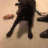 Tessa (Labrador Retriever)