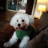 Jasper (Bichon Frise)