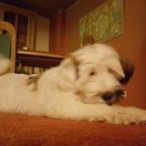 Frau Flocke (Tibet Terrier)