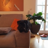 Hugo (Zwergschnauzer)