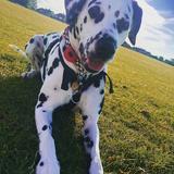 Penny (Dalmatian)