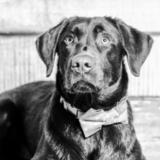 Rooney (Labrador Retriever)
