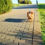 Rufo - Yorkshire Terrier