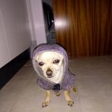 Hugo (Chihuahua)