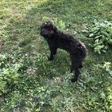 Emma (Portugiesischer Wasserhund)